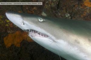 Photo requin taureau