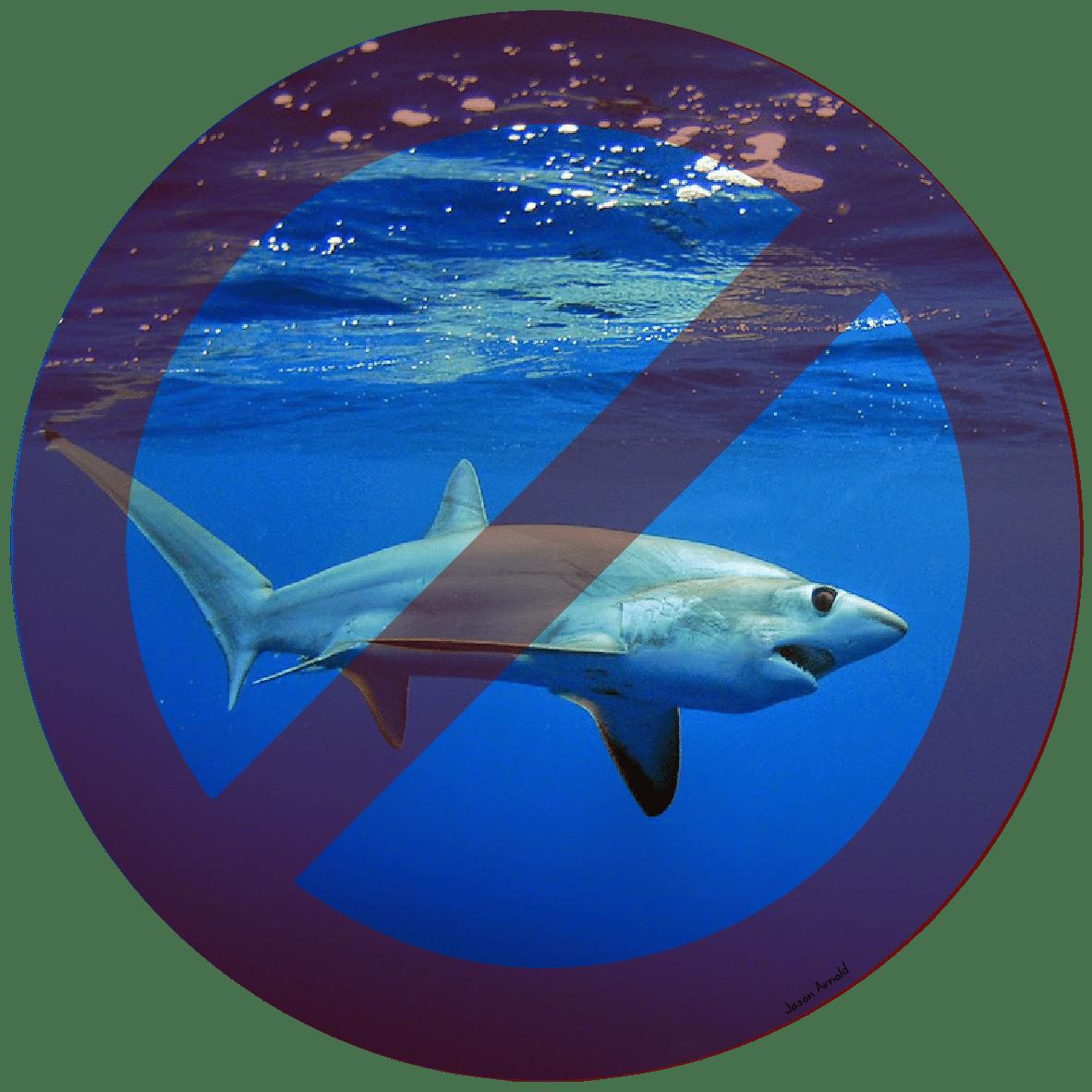 Requin renard à gros yeux