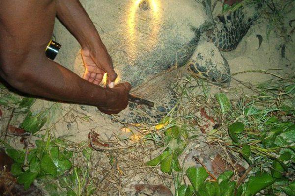 Baguage d'une tortue imbriquée