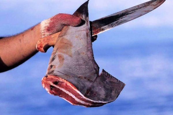 Ailerons de requins fraichement prélevé